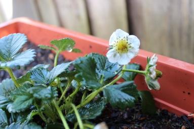 Flowering Strawberries
