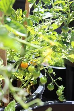 Tomatoes 26.12.2018