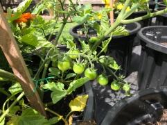 Tomatoes 16.12.2018