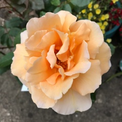 Just Joey Hybrid Tea Rose 20.12.2018
