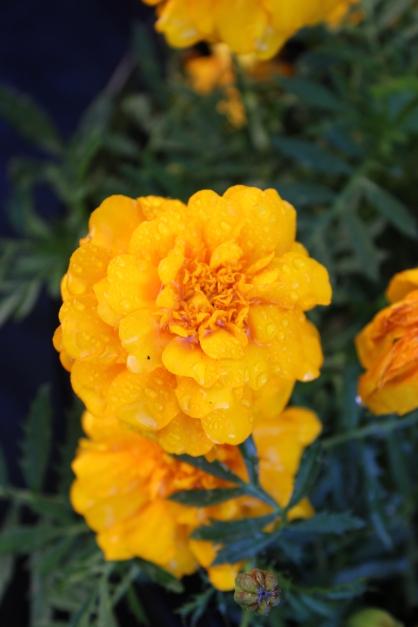 Stunning Marigold. 5.12.2018
