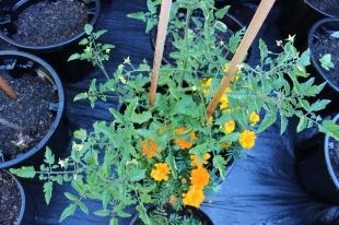 Tomato Plant. 5.12.2018