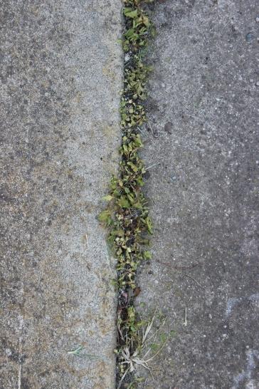 Mint Weeds. 6.12.2018