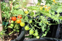 Tomatoes- 31.12.2018