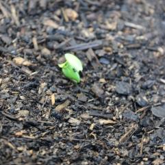 New Cucumber Plant- 31.12.2018