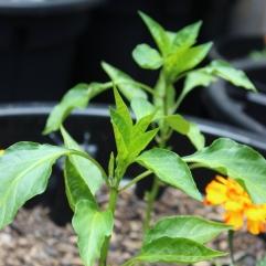 Capsicum Plant- 06.01.2019