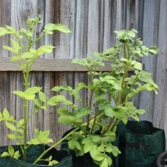 Potato Plants- 06.01.2019